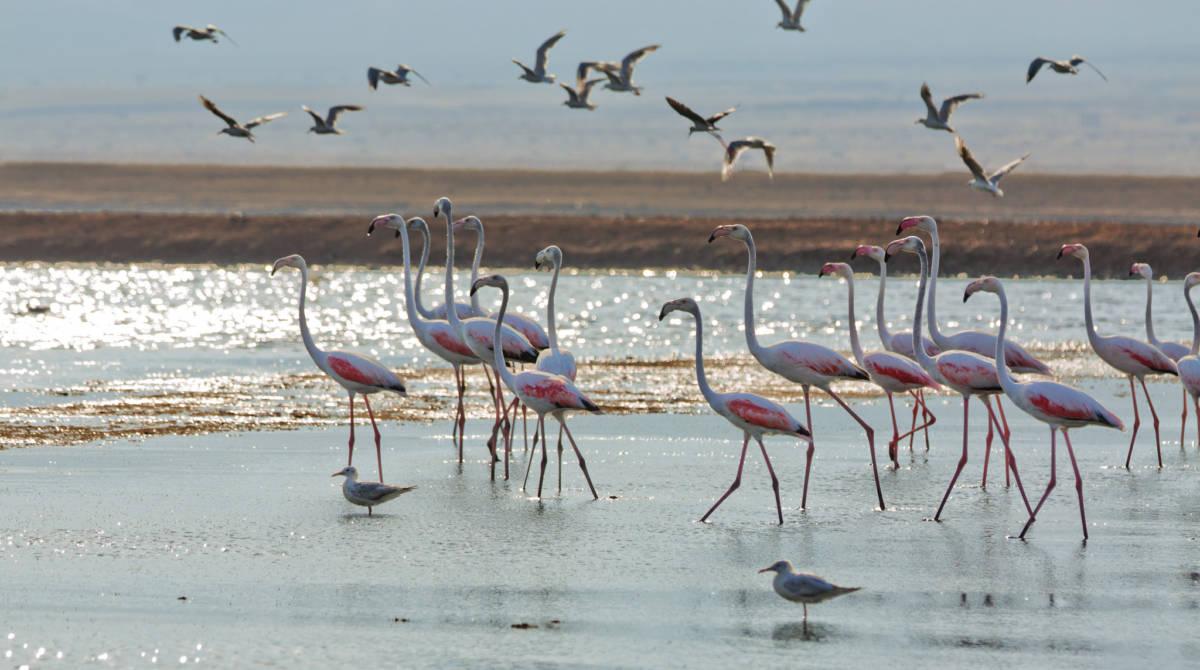 flamingo - Израиль. Заповедник Хула