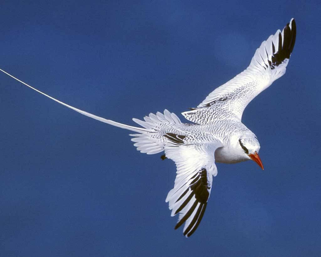 Red billed Tropicbird l07 40 152 l - Остров Маэ. Не только пляжи