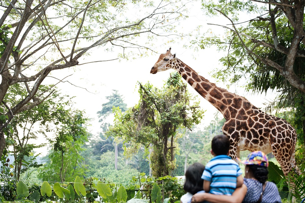 Giraffe - Сингапурский зоопарк. Накорми слона
